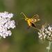 Pachyta quadrimaculata - Photo (c) gadel,  זכויות יוצרים חלקיות (CC BY-NC)