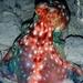 Callistoctopus dierythraeus - Photo (c) Lawrence Scheele, algunos derechos reservados (CC BY-NC)