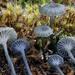 Arrhenia chlorocyanea - Photo (c) Warren Cardimona, algunos derechos reservados (CC BY-NC)