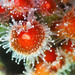 Californian Strawberry Anemone - Photo (c) Donna Pomeroy, some rights reserved (CC BY-NC)