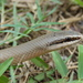 Conophis lineatus concolor - Photo (c) Anibal Díaz de la Vega, some rights reserved (CC BY-NC)