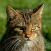 Palearctic and African Small Cats - Photo (c) Peter Trimming, some rights reserved (CC BY)