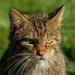 Gatos Monteses - Photo (c) Peter Trimming, algunos derechos reservados (CC BY)