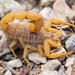 Mediterranean Checkered Scorpion - Photo (c) n_heller, some rights reserved (CC BY-NC)