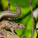 Congo Rope Squirrel - Photo (c) Luis Querido, some rights reserved (CC BY-NC)