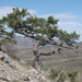 Black Pine - Photo (c) Вадим, some rights reserved (CC BY-NC)