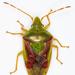 Cyphostethus tristriatus - Photo (c) Olli Pihlajamaa, algunos derechos reservados (CC BY-NC)