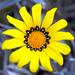 Flores del Tesoro - Photo (c) Philip Milne, algunos derechos reservados (CC BY-NC-ND)