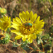 Great Valley Gumweed - Photo (c) stonebird, some rights reserved (CC BY-NC-SA)