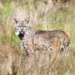 Western Bobcat - Photo (c) Blake Matheson, some rights reserved (CC BY-NC)