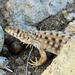 Acanthodactylus harranensis - Photo (c) Kseniia Marianna Prondzynska, algunos derechos reservados (CC BY)