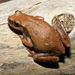 Desert Tree Frog - Photo (c) Travis W. Reeder, some rights reserved (CC BY-NC)