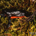 Atelopus ignescens - Photo (c) Museum of Comparative Zoology, Harvard University, alguns direitos reservados (CC BY-NC-SA)