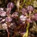 Lepidium nitidum - Photo (c) birdgal5, algunos derechos reservados (CC BY-NC-ND)