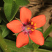 Scarlet Pimpernel - Photo (c) Judy Gallagher, some rights reserved (CC BY), uploaded by Judy Gallagher