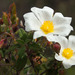 Άσπρη Λαδανιά - Photo (c) Wayfinder_73, μερικά δικαιώματα διατηρούνται (CC BY-NC-ND)