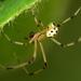 Heterotheridion nigrovariegatum - Photo (c) Nicola Addelfio, some rights reserved (CC BY-NC)