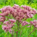 Spotted Joe-Pye Weed - Photo (c) Paul Tavares, some rights reserved (CC BY-NC)