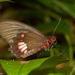 Mariposa Corazón de Parche Blanco - Photo (c) Arnold Wijker, algunos derechos reservados (CC BY-NC)