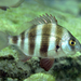 Horned Bream - Photo (c) whodden, some rights reserved (CC BY-NC)