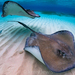 Southern Stingray - Photo (c) Kerry Lewis, some rights reserved (CC BY-NC)