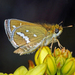 White-banded Grass-Dart - Photo (c) Simon Grove, some rights reserved (CC BY-NC), uploaded by Simon Grove (TMAG)