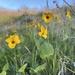 Viola pedunculata - Photo (c) Naomi Fraga, μερικά δικαιώματα διατηρούνται (CC BY-NC-SA)