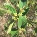Colubrina yucatanensis - Photo (c) gabriel-benavides, alguns direitos reservados (CC BY-NC-ND)