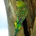 Melopsittacus - Photo (c) Melopsittacus_undulatus_-Alice_Springs_Desert_Park-8.jpg, some rights reserved (CC BY)