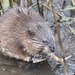 Eastern Muskrat - Photo (c) Ty Smith, some rights reserved (CC BY-NC)