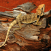Dwarf Bearded Dragon - Photo (c) Travis W. Reeder, some rights reserved (CC BY-NC)