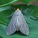 Polilla Rayada - Photo (c) upupamartin, algunos derechos reservados (CC BY-NC-ND)