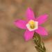 Zeltnera davyi - Photo (c) Jerry Kirkhart,  זכויות יוצרים חלקיות (CC BY)