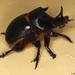 Escarabajos Rodacaca Y Parientes - Photo (c) gbohne, algunos derechos reservados (CC BY-SA)