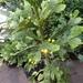 Brasiliopuntia brasiliensis - Photo (c) alonsobernalaquino, alguns direitos reservados (CC BY-NC)