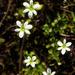 Meconella oregana - Photo (c) Adam Schneider, algunos derechos reservados (CC BY-NC-SA)