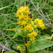 Solidago macrophylla - Photo (c) Paul Tavares, algunos derechos reservados (CC BY-NC)