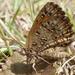 Aloeides - Photo (c) JMK, algunos derechos reservados (CC BY-SA)