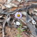 Variable Daisy - Photo (c) robertpergl, some rights reserved (CC BY-NC)