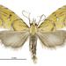 Glaucocharis auriscriptella - Photo (c) Landcare Research New Zealand Ltd., algunos derechos reservados (CC BY)