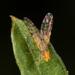 Dioxyna sororcula - Photo (c) portioid, algunos derechos reservados (CC BY-SA)