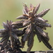 Kalanchoe × houghtonii - Photo (c) 葉子, μερικά δικαιώματα διατηρούνται (CC BY-NC-ND)
