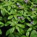 Trigonotis macrophylla - Photo (c) ed_shaw, μερικά δικαιώματα διατηρούνται (CC BY-NC)