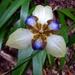 Trimezia northiana - Photo (c) Tatters ❀, algunos derechos reservados (CC BY)