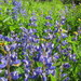 Arctic Lupine - Photo (c) mikeakresh, some rights reserved (CC BY-NC)