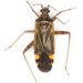 Closterotomus fulvomaculatus - Photo (c) Olli Pihlajamaa, algunos derechos reservados (CC BY-NC)