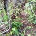 Dichanthelium dichotomum nitidum - Photo (c) Jay Horn, osa oikeuksista pidätetään (CC BY)