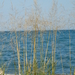 Sand Reedgrass - Photo (c) psweet, some rights reserved (CC BY-SA)