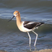 Avoceta Americana - Photo (c) C.V. Vick, algunos derechos reservados (CC BY-NC-ND)