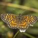 Mariposa Parche Ajedrez con Borde Naranja - Photo (c) Felix Fleck, algunos derechos reservados (CC BY-NC)